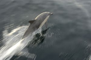 Dolphin - Channel Islands